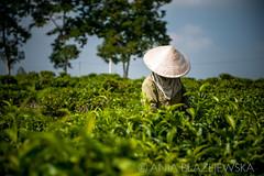 Vietnam, Bao Loc. Tea picker working at tea plantations, DSC_3541 (Ania Blazejewska) Tags: people colour green work tea vietnam pick teaplantation peopleatwork pickers baoloc teapickers growingtea