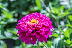 Double Flowered Pink Zinnia (12bluros) Tags: flores flower nature floral garden flora ngc zinnia remembrance greatphotographers ancramdale thegardenconservancy doubleblooming crickethillfarm ringexcellence gardencinderella pinkzinniaelegans