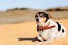 (danielle kiemel) Tags: ocean sea summer pets cute beach dogs animals work outdoors december adorable skipper australia nsw newsouthwales centralcoast 50mmf14 wamberal 2013 daniellekiemel wamberalbeach nikond7100