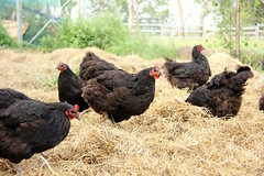 Chickens (Say! Little Hen) Tags: chickens chicken outdoors farm hay australorp