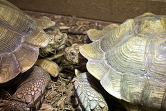 """Big Turtles In Communication • <a style=""""font-size:0.8em;"""" href=""""http://www.flickr.com/photos/30765416@N06/12160269595/"""" target=""""_blank"""">View on Flickr</a>"""