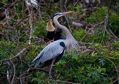 Great Blue Heron (flutterbye216) Tags: venice bird heron canon eos florida rookery greatblue explored 60d canoneos60d flutterbye216