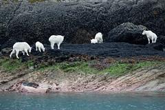 _MG_4350a (markbyzewski) Tags: alaska kids ugly mountaingoats glacierbaynationalpark