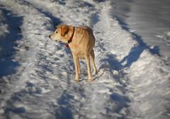 Cody - My Yellow Labrador in the Snow (mbell1975) Tags: winter dog pet snow yellow virginia lab labrador unitedstates retriever neighborhood retreiver cody feb centreville 2014 my