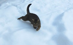 little snow tiger (Riex) Tags: winter pet snow animal cat chat hiver powder gato neige striped raye tigr poudreuse s95 canonpowershots95