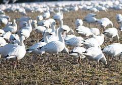 Snow Goose (eyriel) Tags: winter shadow sun bird nature birds geese wildlife goose shade migration grazing snowgeese