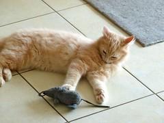 P1040858 (frankbehrens) Tags: cats tom cat chats kitten chat gatos gato katze katzen kater