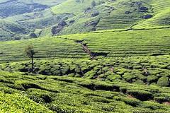 Kerala (Mohan.Singh) Tags: landscapes kerala hillstation teaplantation munnar keralatourism