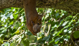 Red Squirrel and Infant