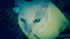 My Anakin (Next To Nothing) Tags: cat gatos animais