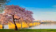 Cherry Blossoms in DC 2014 (davebentleyphotography) Tags: davebentleyphotography canon 2014 cherryblossoms dc washingtondc districtofcolumbia dccherryblossoms cherryblossomfestival travel tourism floral