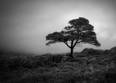 A Tree (ShinyPhotoScotland) Tags: camera airy space digitalgradnd landscape memories nature darktable blackandwhite manipulated calm photography composition places lonely shapeandform highlands digitallowpass negativespace olympuspenf skyearth trees digitalbloom light hdr bland one simple balance shapely rawtherapee art scotland numbers crazyart westerross pinussylvestris olympus1240mmf28 scotspine composite rawconversion pine filter equipment digikam tranquil toned dulllight flora stark lochmaree contrasts emotion attitude loosecomposition elegance intimatelandscape enfuse monochrome slattadale lens unitedkingdom gbr