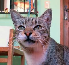 Carita Chistosa (MaPeV) Tags: morris bellolindoguapetón gatos cats chats kawaii felin neko gatti gattini gattoni tabby chat katze gato kitty tabbyspoted powershot canon g16 carita chistosa