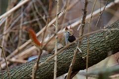IMG_5606 (jimbop22001) Tags: americanredsquirrel tamiasciurushudsonicus