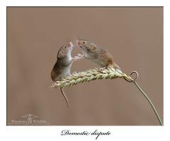 Domestic Dispute ! (deanmasonwp) Tags: harvestmice harvest mice rodent mammal animal dean mason windows wildlife dorset uk wheatsheaf nature photography nikon d3s
