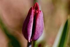 Ma come ti chiami?...come un fiore!...Tulipano? (kiareimages1) Tags: tulipani tulipes tulips flowers fleurs fiori flores printemps primavera spring nature natura images imagery immagini purple