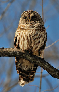 Chouette rayée - Barred Owl (Strix Varia)