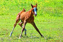 Poulain (mary45110) Tags: poulain foal pré meadow prairie canoneos760d tamron16300 extérieur animal cheval horse