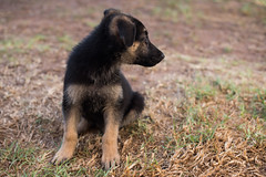 On guard (Rushay) Tags: 50mm alsatian animal canine dog germanshepherd nikond810 pet pup puppy southafrica aware