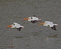 Formation Flying (Keith Carlson) Tags: americanwhitepelican pelecanuserythrorhynchos pelicans bif