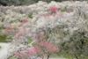 木下沢梅林 (cate♪) Tags: plumblossoms woods flowers 裏高尾 木下沢梅林 spring