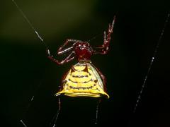 Micrathena sp. (Eerika Schulz) Tags: spinne spider puyo pastaza ecuador parque omarae eerika schulz micrathena
