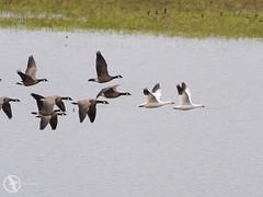 Snow Geese leading the way (mkbengtson) Tags: tualatinwildliferefuge snowgeese sherwood oregon unitedstates us