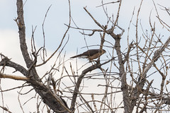 Cooper's Hawk making noise at a Great Horned Owl
