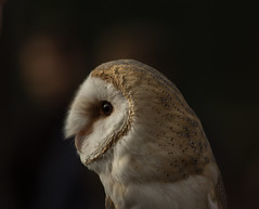 Waiting for the night ... (zincosf) Tags: barnyowl barbagianni owl falconry falconeria varese anto