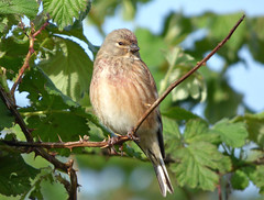 Linnet (male) (Peanut1371) Tags: linnet bird finch nationalgeographicwildlife