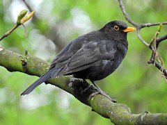 Blackbird (PhotoLoonie) Tags: blackbird bird wildbird nature wildlife avian