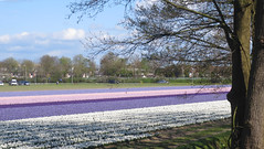 Hyacinthus (Martin van Duijn) Tags: hyacinthus bollenstreek netherlands holland bulb flowers lisse sassenheim hillegom dezilk noordwijkerhout noordwijk