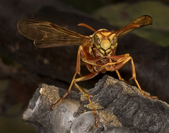 Wasp on Guard (Inge Vautrin Photography) Tags: wasp insects insect wasps macro macrophotography nature onguard small outdoors outdoor outside stare looking watching yellow nest wings eyes eye wing sitting upclose wildlife animalplanet usa oklahoma