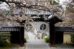 Sakura Gate (tez-guitar) Tags: kyoto temple sakura cherryblossom cherry blossoms bloom spring flower architect gate tree trees pentax pentaxart petal
