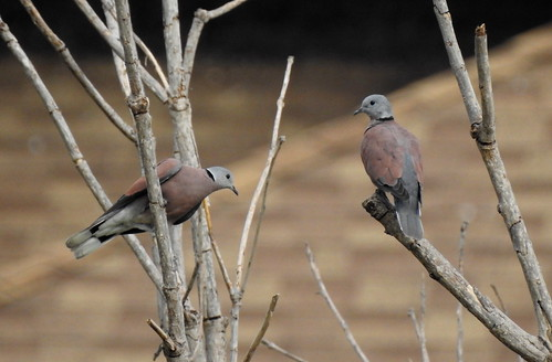Red Collared Dove´s Outside Hua Hin - Thailand