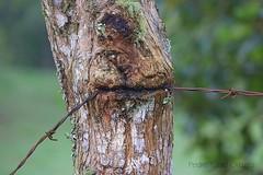 Come alambre - Eat wire (Pedro Pablo Orozco) Tags: alambredepúas árbol naturaleza wire
