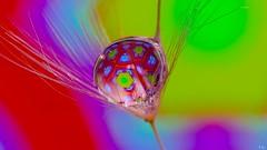 The Red Drop (Ⓨ a s m i n e Ⓗ e n s +4 900 000 thx❀) Tags: drop creative art dandelion seed macro closeup flora hensyasmine panasonic 7dwf
