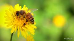 Sunday's Macro! (Frank Abbate) Tags: macro sunday bee yellow country giallo campagna ape canon eos 80d salento lecce taraxacum officinale tarassaco dandelion extendertube tuboprolunga