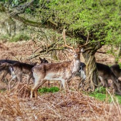 Deer on Cannock Chase (chrisbedford) Tags: cannockchase forest animal nature wildlife stag deer