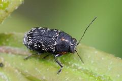 scriptured leaf beetle (myriorama) Tags: scripturedleafbeetle polyphaga cucujiformia chrysomeloidea chrysomelidae cryptocephalinae cryptocephalini pachybrachina pachybrachis willowoak