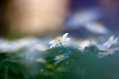Guardian Angel (matt.kueh) Tags: flower plant blume spring frühling anemonenemorosa buschwindröschen smellfox windflower thimbleweed bokeh bokehlicious manualfocus m42 depthoffield vintagelens helios40285mmf15