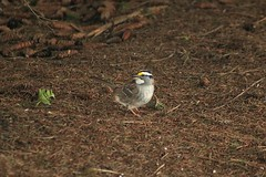 White-Throated Sparrow Out And About 00 - Zonotrichia Albicollis (Chrisser) Tags: birds bird sparrows sparrow whitethroatedsparrows whitethroatedsparrow zonotrichiaalbicollis nature ontario canada canoneosrebelt6i canonef75300mmf456iiiusmlens emberizidae