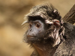 Ebony Langur 2 (dennisgg2002) Tags: bronx zoo new york city ny nyc