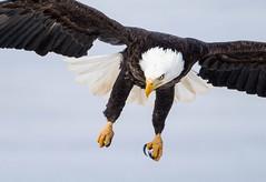 IMG_5891 Bald Eagle (Wallace River) Tags: aboiteau baldeagle bito icefishing wallacebay