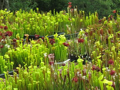 Sarracenia collection (meizzwang) Tags: sarracenia collection cultivation trumpet pitcher plant carnivorous insect eating