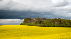 Yellow Curves & Angry Skies (Warbey (Insta @Warbey)) Tags: curves curve moody angry sky storm skies rapeseed yellow landscape lines rain weather spring april