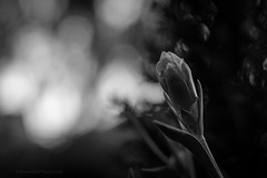 Sony a7 50mm (Jasrmcf) Tags: ilce7 sel50f18f sony sonya7 sonyalpha macro macros macrotube depthoffield detail smooth blur bokeh bokehgraph bokehlicious garden nature ngc greatphotographers blackandwhite vintage 50mm petals flowers flower dreamy
