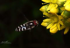 In Flight (striving67) Tags: macro insects flowerfly hoverfly fly pollen