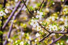 Yeahhhh...you (Don Costello) Tags: flower blossom spring green nature retezat gura apelor hunedoara romania nikon d3300