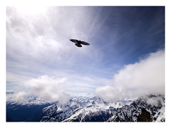 The fly (Enrico Cusinatti) Tags: falco bird montagne montblanc montebianco puntahelbronner valledaosta cielo italy italia clouds mountains white fly volo uccello manipulation artwork falcopecchiaiolo